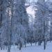 Levi, Finland, snow, holiday, travel, trees, winter, ski