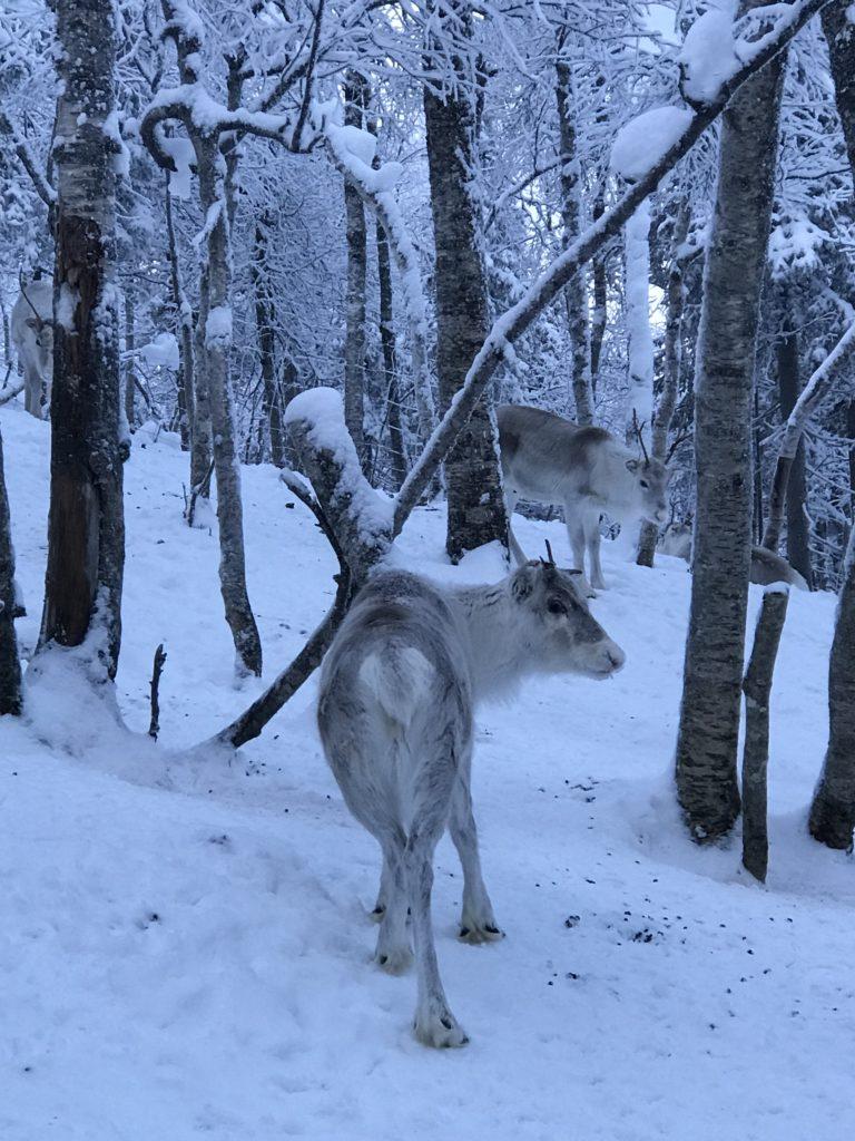 reindeer, Levi, Finland, lapland, snow, winter